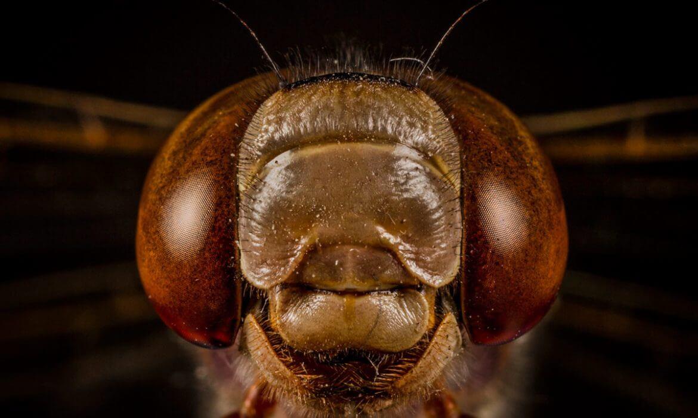 Odonato (libélula)