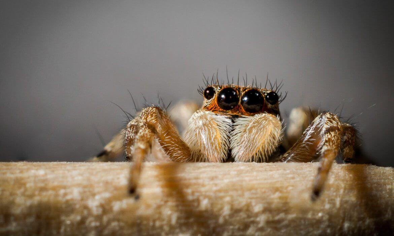 Saltícido (araña saltarina)