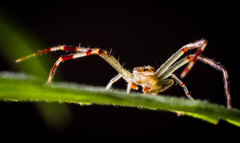 Arácnido (araña)